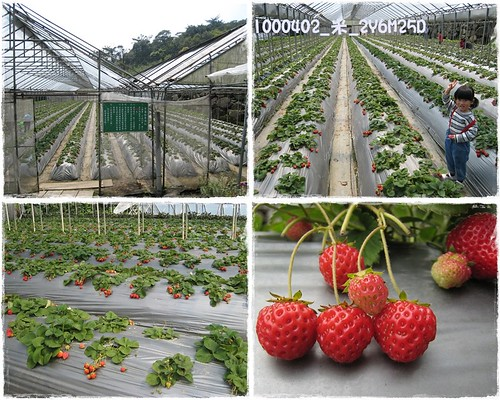 B1000402_採草莓_2y6m25d_02.JPG