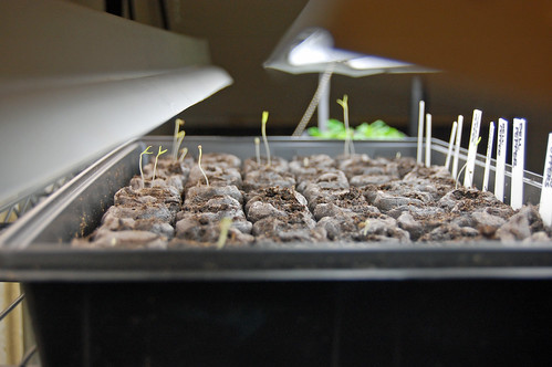 Tomato and Pepper Seedlings 031911