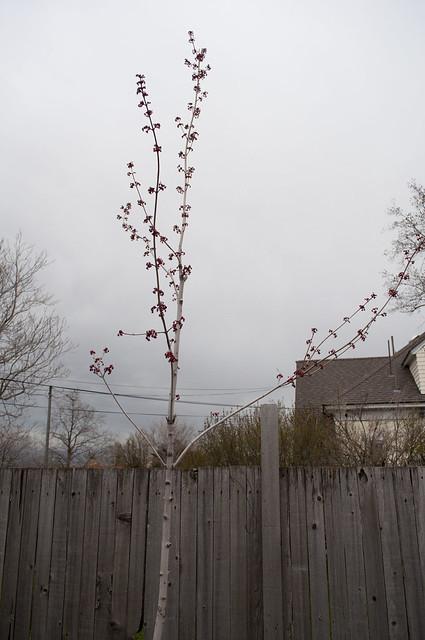 maple.tree.april2011.557