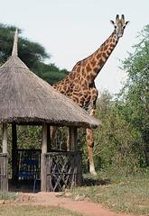 Giraffe at Msembe Camp, Ruaha National Park