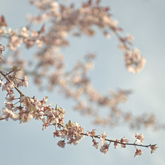 The art of Spring - Cherry blossom (Marco Boekestijn) Tags: pink flowers light sunset red white blur flower detail tree art netherlands backlight out square cherry photography spring nikon focus soft colours purple blossom bokeh blossoms delft magnolia marco tones bloesem desaturate d80 boekestijn tegenligt