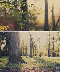 Fairy Forest Pt. 2 (Maegondo) Tags: wood trees sunset sunlight green field grass yellow backlight forest sunrise canon germany bayern deutschland bavaria 50mm diptych dof bokeh magic 14 fairy dreamy usm fairies leafs magical depth creamy ingolstadt eos550d