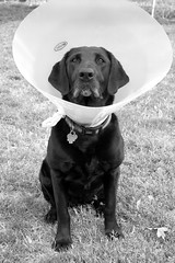 dog hurt lab cone cut vet injury labradorretriever wound unhappy staples mesa heal