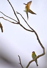 Bee-eaters Flying And Perched (aeschylus18917) Tags: bird nature thailand nikon wildlife pair aves thai chiangmai mates partners beeeater  predation merops  meropidae  chestnutheadedbeeeater meropsleschenaulti coraciiformes 200400mm 200400mmf4gvr d700 maeon  ratchaanachakthai nikond700 maekampong danielruyle aeschylus18917 danruyle druyle    maekhampong maekonphong 200400mmf40gvr maekonphongchiangmai