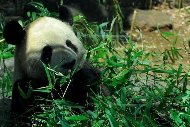 Pandas hit Ueno