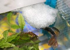 Male betta with bubblenest (Starless Clay) Tags: fish aquarium nest betta bettasplendens freshwater siamesefightingfish bubblenest