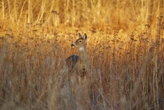 deer in the grass (chumlee10) Tags: county grass wisconsin iron mercer deer wi mygearandme mygearandmepremium mygearandmebronze