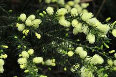 australische Pyrophyten (Michael Döring) Tags: bochum d300 botanischergarten ruhruniversität querenburg michaeldöring sigma150makro australischepyrophyten
