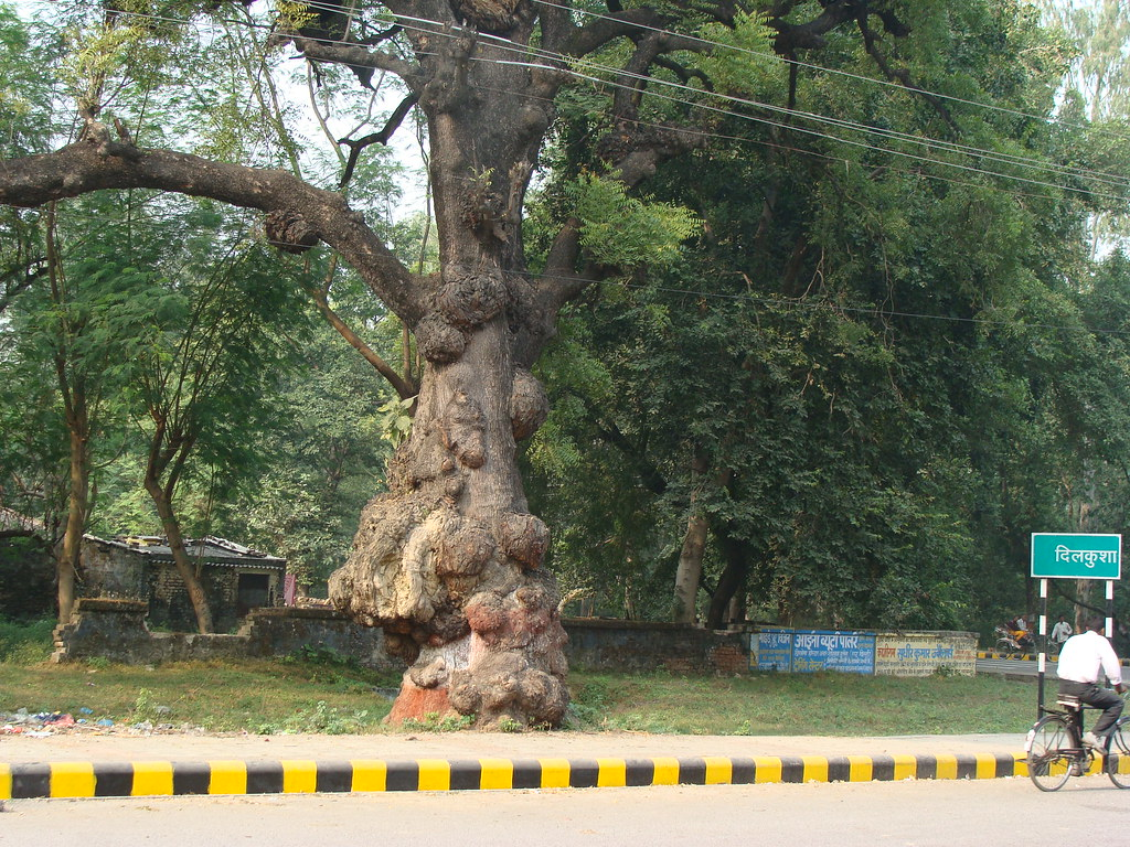 the world s best photos of azadirachtaindica and neem flickr neem tree lucknow vineet wal tags road old brown tree green