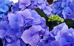 Purple (Bill Maksim Photography) Tags: christmas morning summer plant flower macro water garden botanical photography oakland leaf purple walk conservatory drop through phipps thru maksim