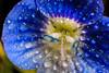 Small Worlds ... (Joe Dsilva) Tags: macro stamen waterdrops flowermacro mpe65 waterdropmacro wonderfulworldofflowers