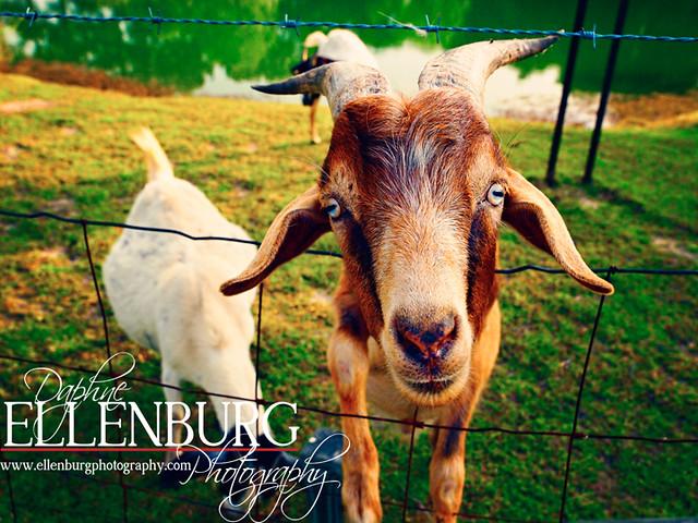 fb Goats-14a