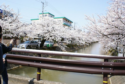 福島江の桜