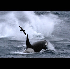 crash (Paul Tixier) Tags: offshore indianocean orca rough killerwhale crozet