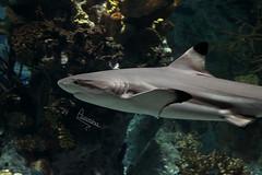 shark (Still Alive ..) Tags: fish canon shark 7d q8 canon7d moiq8