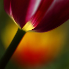 Easter Colours (AnyMotion) Tags: flowers light red plants abstract macro rot primavera nature floral colors garden square licht petals spring colours blossom bokeh frankfurt ngc natur pflanzen blumen gelb npc tulip yelow ie makro blte garten printemps bltenbltter fa tulipa farben abstrakt frhling tulpe oa doublefantasy 2011 makroaufnahmen anymotion bej 800x800 canoneos5dmarkii natureselegantshots 5d2 thebestofmimamorsgroups redmatrix