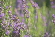 Busy bee working on Lavender flowers in Provence, France.