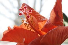 Hibiscus 298/365