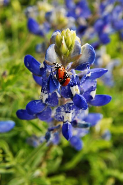 bluebonnets & ladybugs