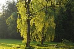 Lingen, Baccumer Wald - Trauerweide (Salix x pendulina) auf einer Lichtung am Baccumer Berg (16) (Chironius) Tags: lingen emsland germany deutschland niedersachsen allemagne alemania germania германия trauerweide weide salix osier willow marsault saule sauce salice salcio ива söğüt wilg baum bäume tree trees arbre дерево árbol arbres деревья árboles albero árvore ağaç boom träd baccumerwald baccumerforst lingenerhöhe weepingwillow rosids fabids malpighienartige malpighiales weidengewächse salicaceae weiden grün и́ва wald forest forêt лес bosque skov las