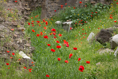 Red spots on ancient walls... (@stertrip) Tags: flower roma wall spring poppy ancientrome papavero teatromarcello