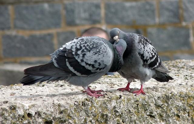 24212 - Feral Pigeon, Lyme Regis
