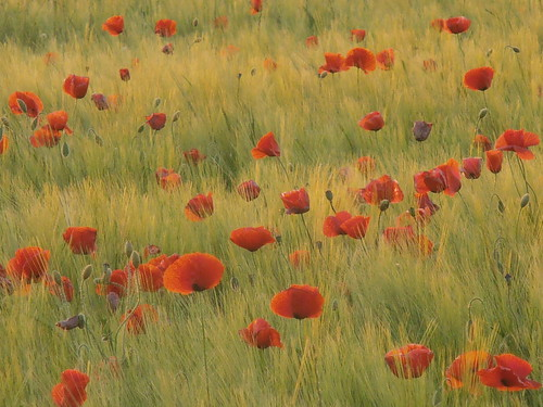 amapolas by speedvilli