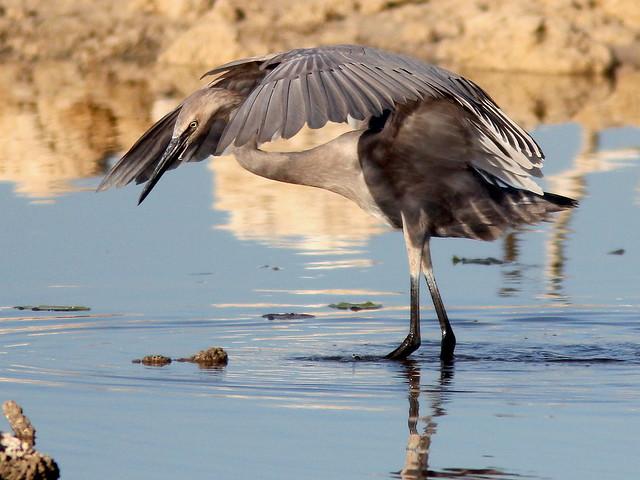 Reddish Egret immature 3-20110426