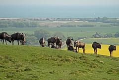 Port Lympne Kent with an African flavour (Daves Portfolio) Tags: animals kent african safari safaripark wildanimals portlympne wildlifeexperience aspinall