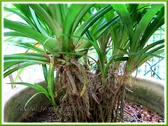 Propagating Pandanus amaryllifolius (Fragrant Pandan): plantlets maturing and suckering well a year later. Shot April 15 2011