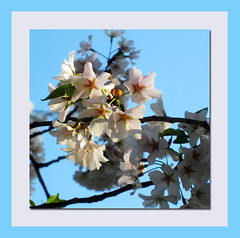 White blossoms (Supremecourtjester) Tags: white flower tree up spring close blossoms
