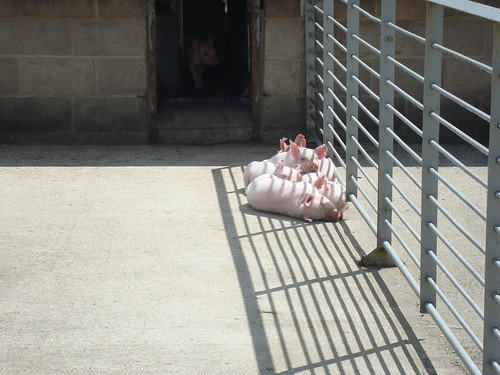 piglets sunning themselves