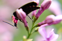 In the Pink (Truebritgal) Tags: pink ohio black flower macro nature up closeup bug insect nikon dof close critter beetle lilac filter nikkor steubenville 50mmf18 wintersville d7000 truebritgal