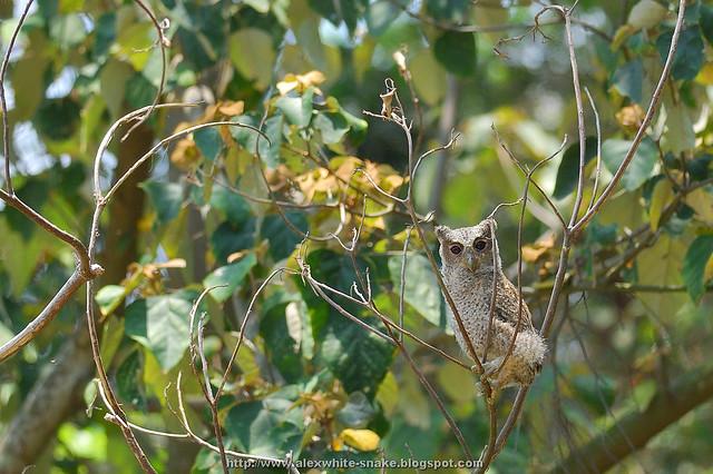 領角鴞寶寶 環境