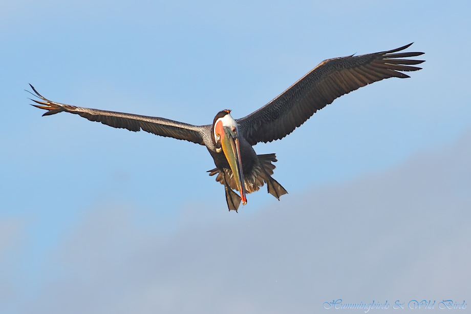 Brown-Pelican-041128