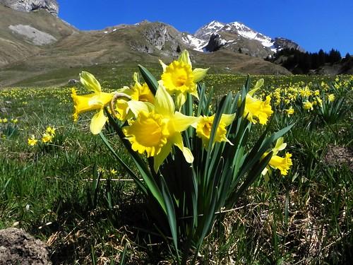 Narcissus pseudonarcissus=JonquillesJonquilles 013