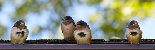 Four little swallows