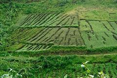 Uganda Terraces 2/4