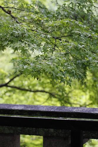 新緑の楓 / Maple of the fresh green