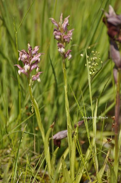Orchis coriophora subsp. martrinii