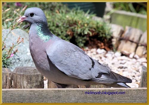 Stock Dove 1