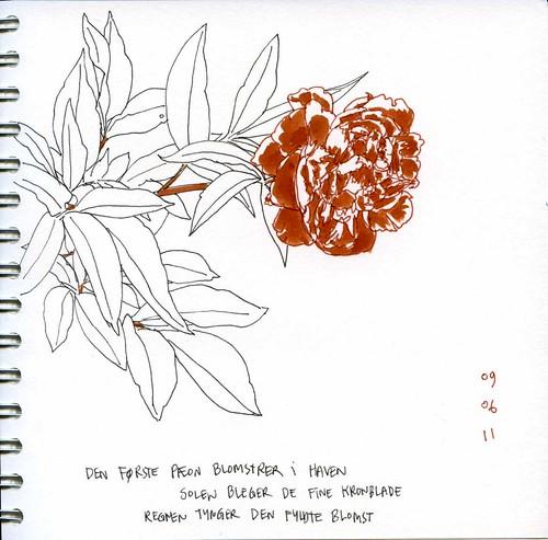 blooming peonie