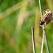 Amboseli, Ashy Cisticola