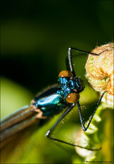 Multi-Coloured, Dragonfly (Stuart-Saunders) Tags: flower macro insect fly close dragonfly