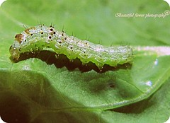 small worm on paper lettuce(Simple Image) (Beautiful flower*) Tags: green paper insect legs small lettuce worm sensor              ringexcellence caterpillar