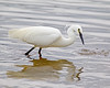 Egret 2 (Andrew Haynes Wildlife Images) Tags: bird nature wildlife rutland egret rutlandwater egleton ajh2008 canon1dmkiv crakehide