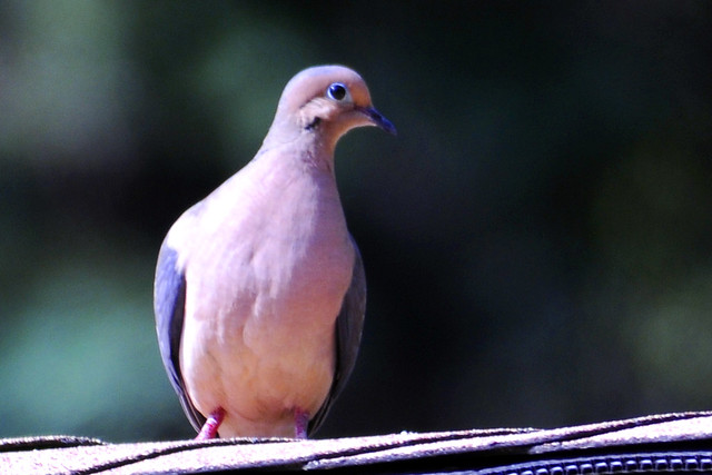 pink mourning dove