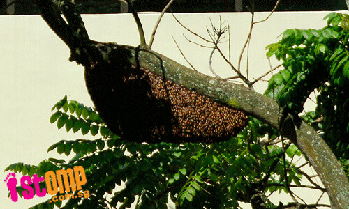 Yikes! There's a huge bee hive in a primary school in CCK