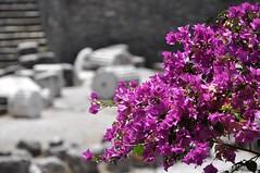 Seven Wonders (bazylek100) Tags: flowers turkey ancient ruins trkiye ruin bougainvillea mausoleum seven archaeological wonders bodrum turcja halicarnassus asiaminor caria mauzoleum mausollos bugenwilla kcicier