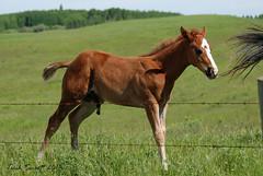 Young colt having a pee after his nap DSC_1435 (Trish Sweett) Tags: horse canada animal rural mammal nikon farm alberta equine southernalberta d80 nikond80